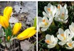 Crocuses cultivation and maintenance