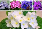 How to plant violets from leaf and seeds - step by step instructions