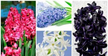 How to grow a hyacinth at home: distillation and especially care