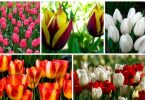 Varieties of tulips: ranotsvetuschie, srednetsvetuschie pozdnetsvetuschie and tulips - photo and name