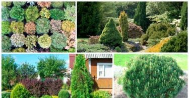 Conifers for Gardens: photo, name, type and composition rules of coniferous plants in the garden