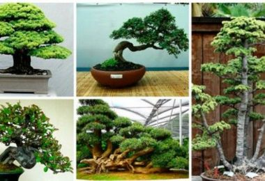 How to grow bonsai at home: video and photo, bonsai styles