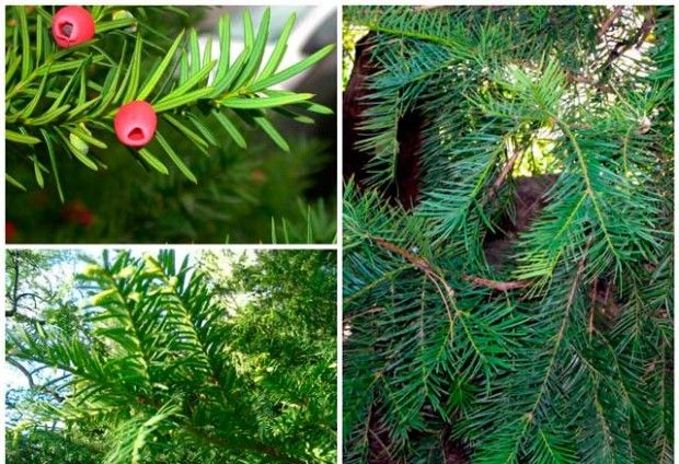 Conifers for Gardens