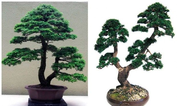 Forked trunk bonsai