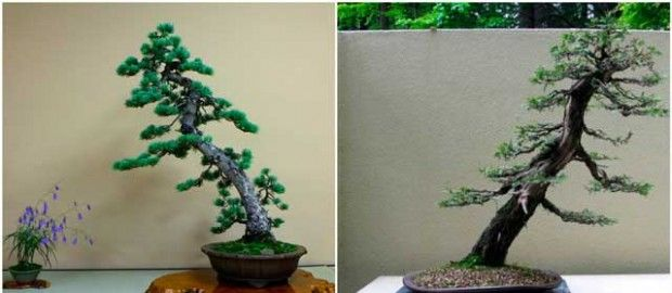 Inclined trunk bonsai