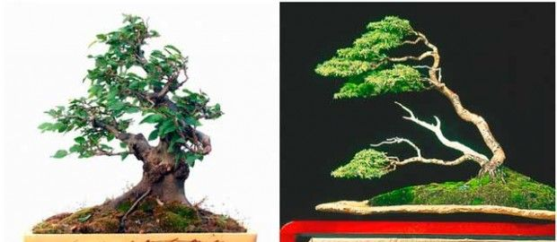 Bent Wind bonsai