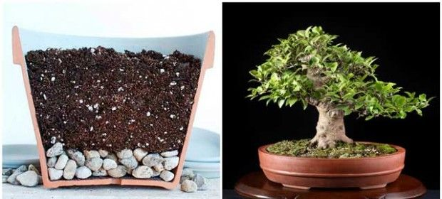 How to grow bonsai at home?