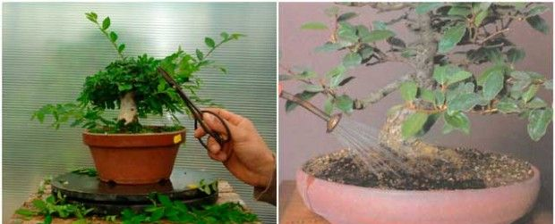 Caring for bonsai