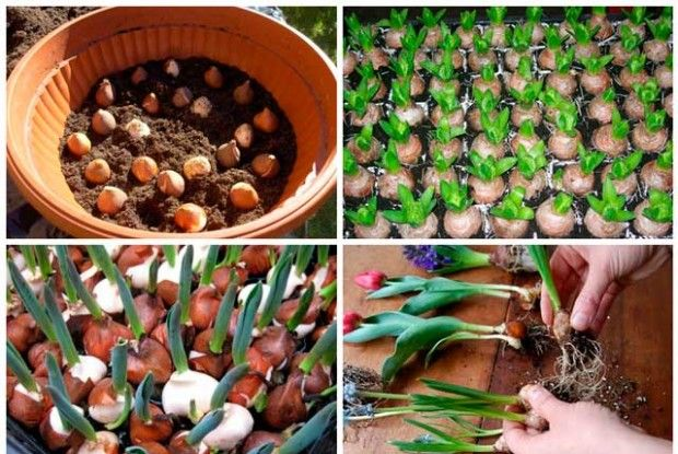 Terms and conditions of cultivation and care for tulips