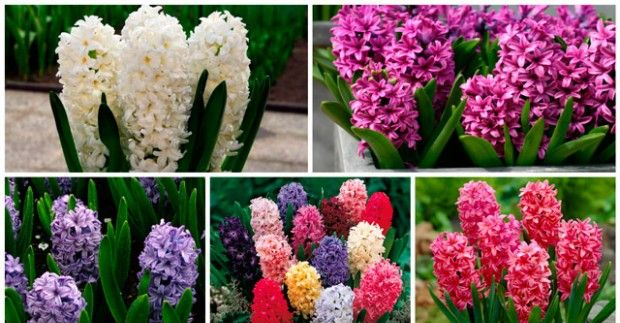 How to grow a hyacinth in the home?