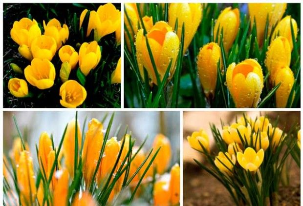 Crocuses: cultivation and maintenance