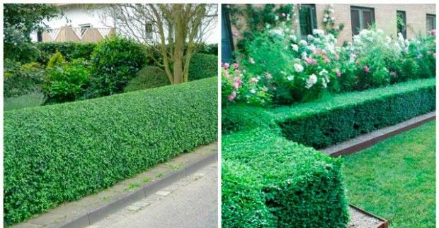 Живые изгороди в ландшафтном дизайне