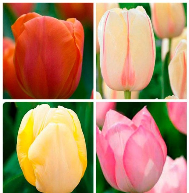 Varieties of tulips photo and name